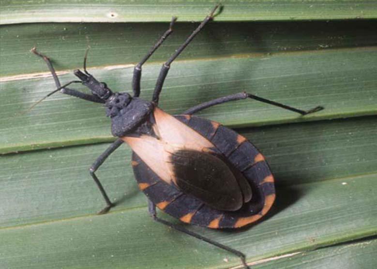 Chagas2-más-de-800mil-infectados-en-México-UNAMGlobal