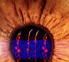 De-Novo-Rod-photoreceptor-UNAMGlobal