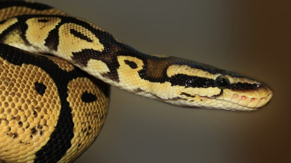 Serpiente-crean-antiveneno-UNAMGlobal