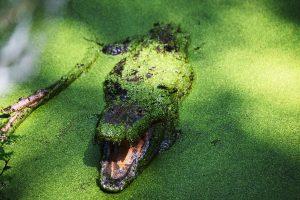 Cocodrilo-de-Morelet-peligro-de-extinción-UNAMGlobal