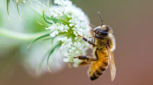 abejas2-reducido-dramáticamente-población-pesticidas-UNAMGlobal