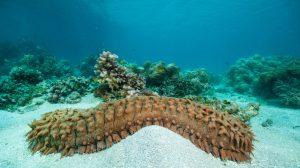 Pepino-del-mar-UNAMGlobal