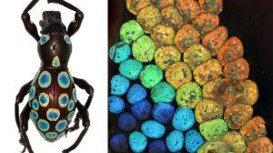 Mecanismo-para-generar-colorRainbow-Weevil-UNAMGlobalR