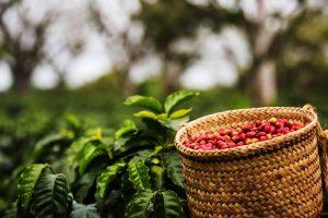 Café-Chiapas-afectado-UNAMGlobal