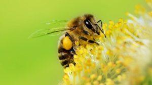 Sin-abejas-moriría-mitad-plantas-2-UNAMGlobalR
