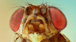 ¿En-qué-nos-parecemos-a-moscas-de-fruta?-UNAMGlobal