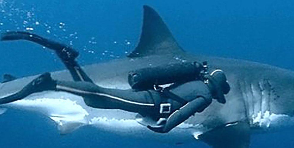 Colocan-marcas-a-tiburones-UNAMGlobal