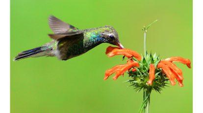 colibrí-UNAMGlobal