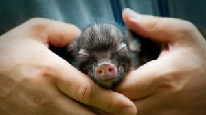 mini-pig-tenerlos-genera-costos-crecen-requiere-espacio-UNAMGlobal