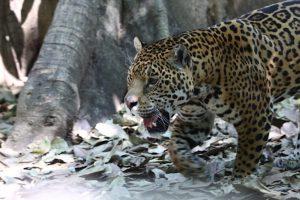 jaguar2-felino-grande-América-peligro-extinción-UNAMGlobal