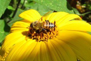 abejas3-reducido-dramáticamente-población-pesticidas-UNAMGlobal