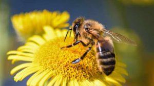 abejas-peligro-extinción-México-agricultura-intensiva-UNAMGlobal