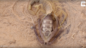 Escorpión-mudando-caparazón-UNAMGlobal