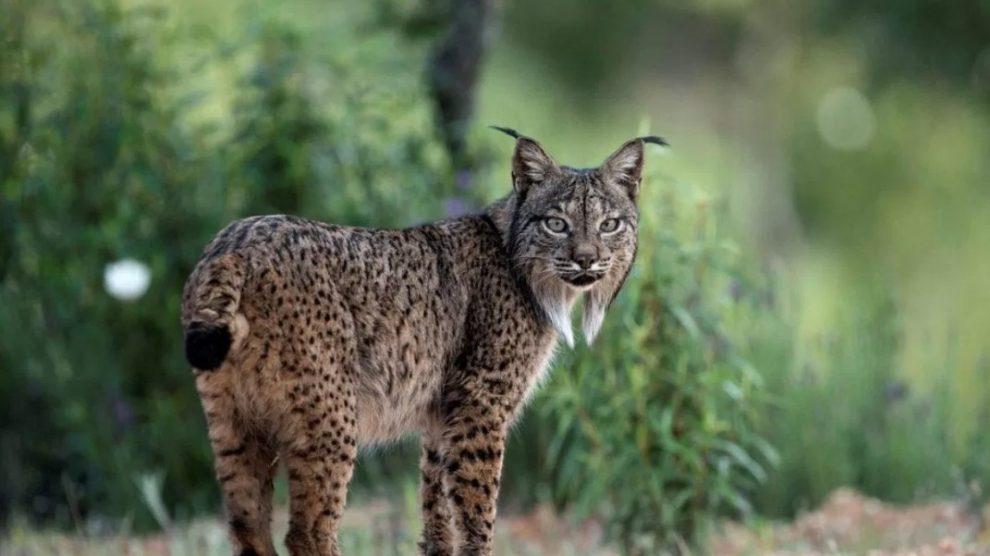 Felinos-amenaza-o-peligro-de-extinción-UNAMGlobal