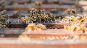 extraer3-veneno-abejas-sin-matarlas-UNAMGlobal