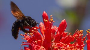 polinizan-abejorros-jitomate-chile-peligro-UNAMGlobal