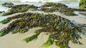 Nueva-forma-de-crear-plástico-a-partir-de-algas-UNAMGlobal