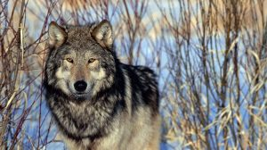 Lobos-grises-Trump-debilita-Ley-de-Especies-UNAMGlobal