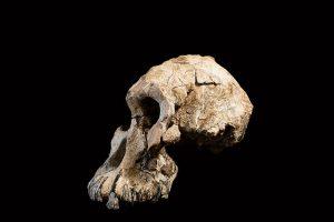 Antigüo-cráneo-antepasado-de-Lucy