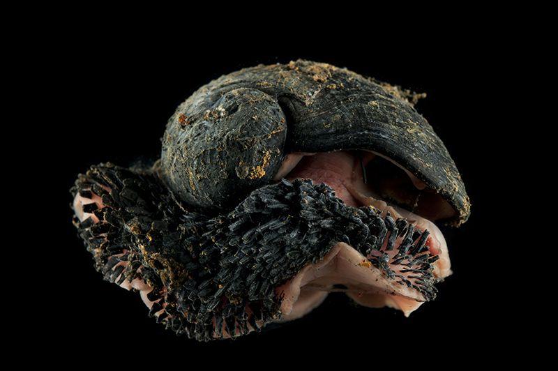 pie-escamoso-caracol-en-peligro-por-minería-UNAMGlobal