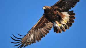 águila-real-peligro-extinción-UNAMGlobal